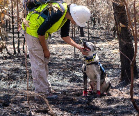 Chú chó anh hùng gây xôn xao cộng đồng mạng khi sở hữu siêu năng lực giúp giải cứu gấu koala gặp nạn trong thảm họa cháy rừng ở Úc - Ảnh 4.